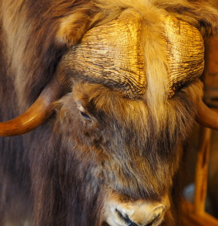 Day 3 - Musk Ox at Long Rifle Lodge