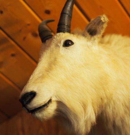 Day 3 - Dall Sheep at Long Rifle Lodge