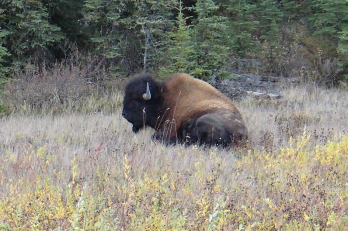 Canada 148 - Our 1st bison!