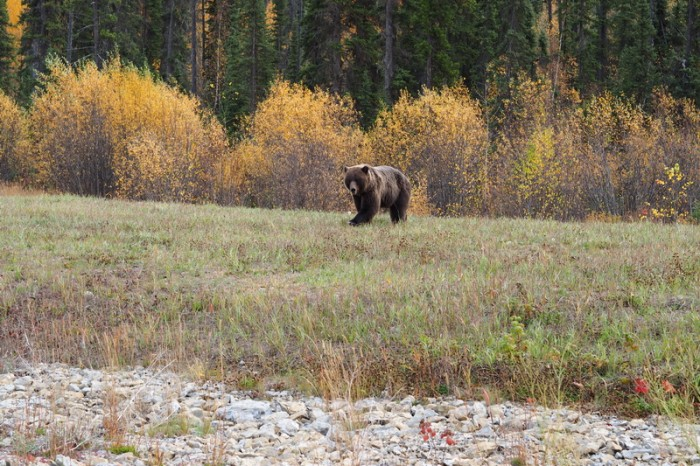 Canada 151 - Our 1st grizzly bear!