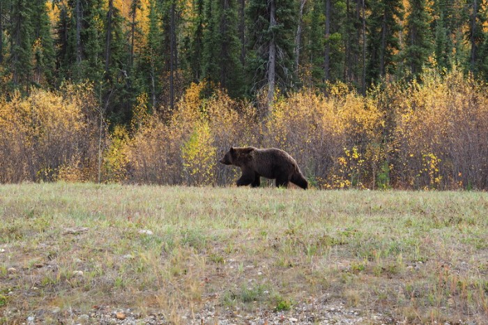 Canada 152 - Our 1st grizzly bear!