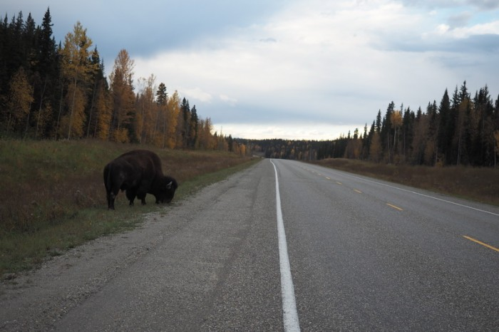 Canada 163 - More bison on the road to Liard Hotsprings