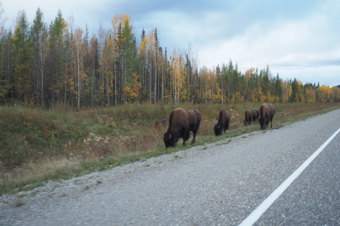 Canada 166 - More bison on the road to Liard Hotsprings