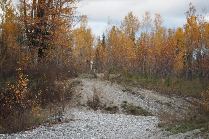 Canada 168 - Mule deers