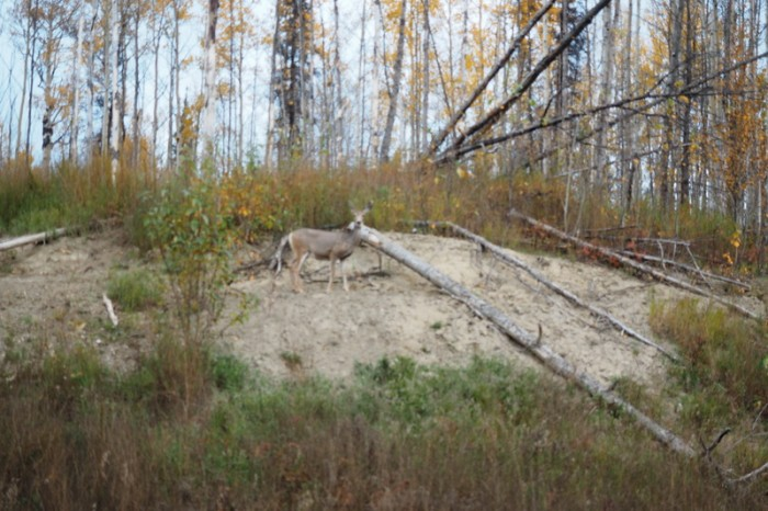 Canada 169 - Mule deer