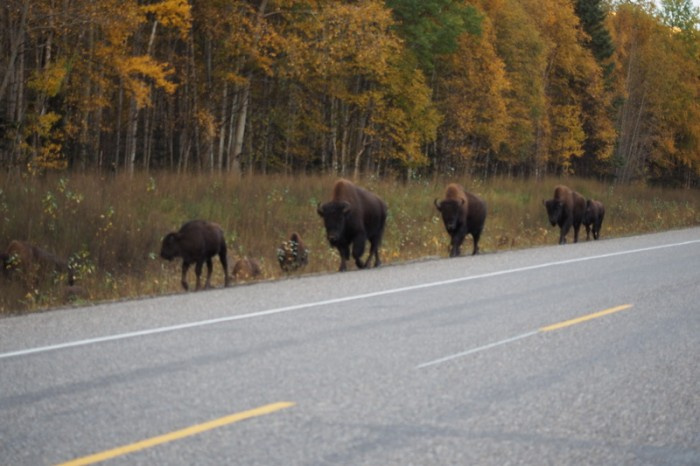 Canada 173 - Herd of bison
