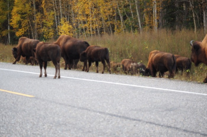 Canada 175 - Herd of bison