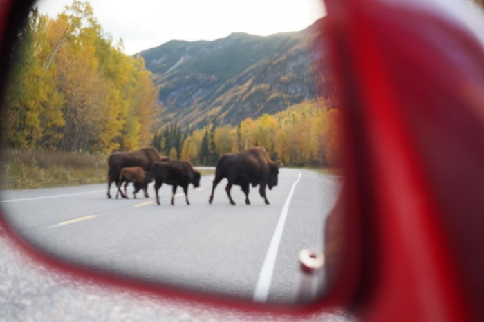 Canada 176 - Bison crossing the road