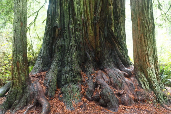 Portland to San Francisco - Stunning redwoods, Jedediah Smith Redwood State Park