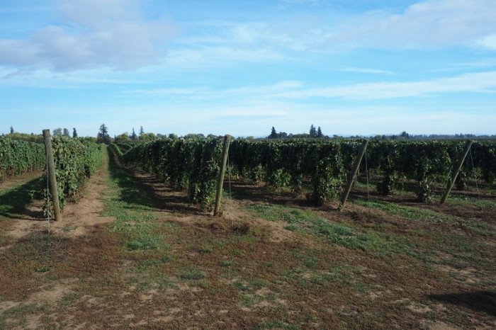 Portland to San Francisco - Beautiful vineyards in the Willamette Valley