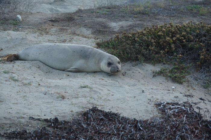 SF to LA - Cute Elephant Seals near San Simeon