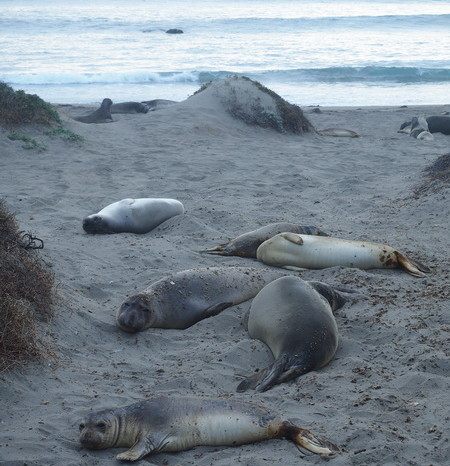 SF to LA - Elephant Seals relaxing on the beach near San Simeon