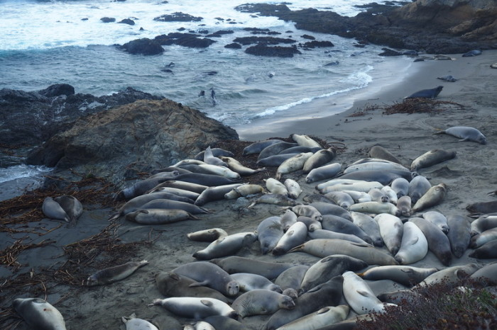 Big herd of Elephant Seals near San Simeon