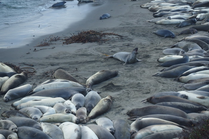 SF to LA - Big herd of Elephant Seals near San Simeon