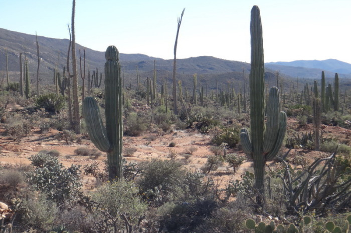 Baja California - Views of cacti on Day 1 of our Central Desert crossing