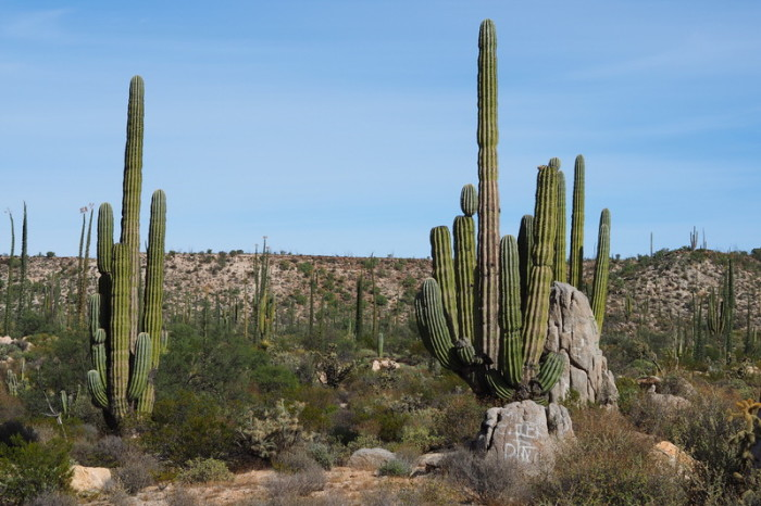 Baja California - The distinctive cardon cactus - we loved these!