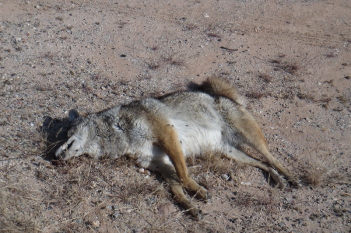 Baja California - Coyote roadkill ....
