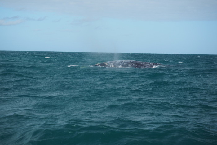Baja California - A grey whale surfacing near Guerrero Negro