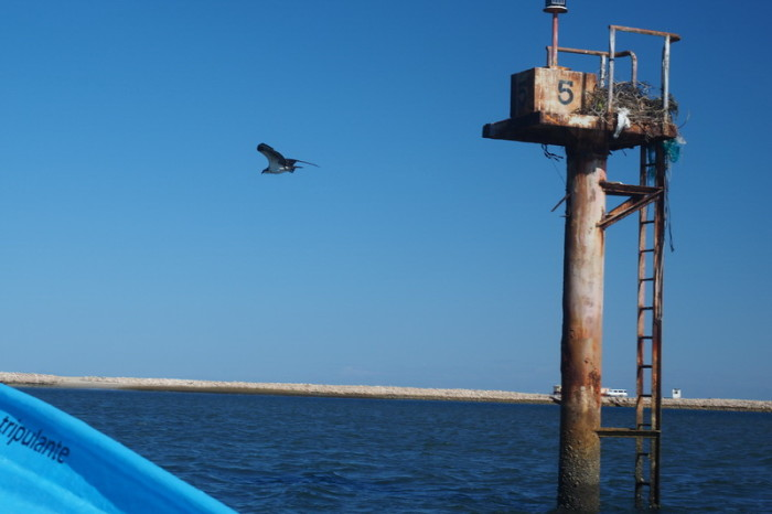 Baja California - Osprey taking flight near Guerrero Negro