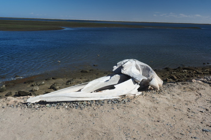 Baja California - Remains of a grey whale, at the Laguna Ojo  de Liebre near Guerrero Negro