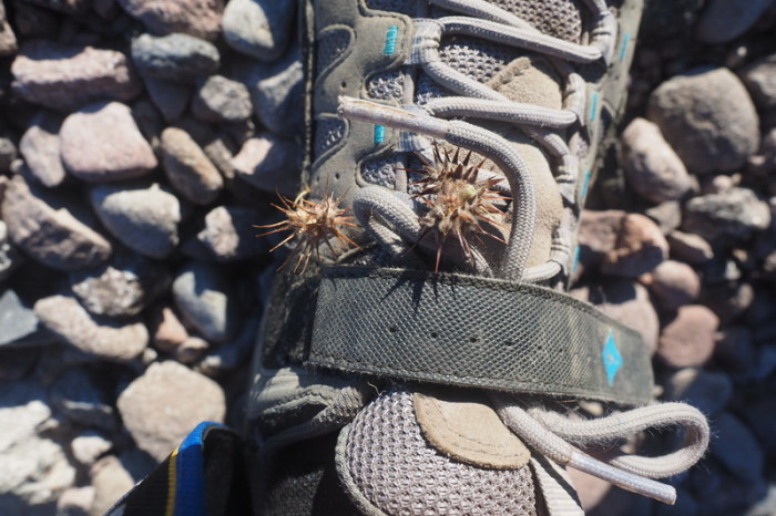 Baja California - Our shoes were covered with these little prickles after our night of wild camping in the desert near San Ignacio