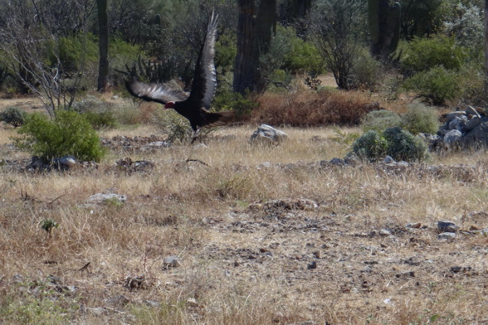 Baja California - A vulture in flight!