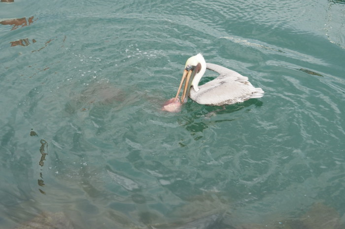 Baja California - Pelican feeding on fish, Cabo San Lucas