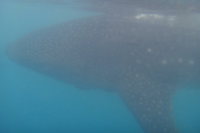 Baja California - Swimming with the whale sharks near La Paz