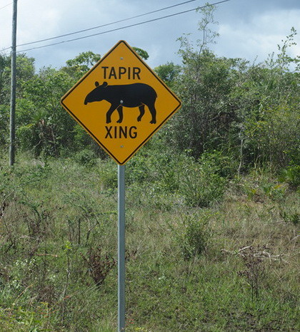 Belize - Tapir Crossing!!! Belize