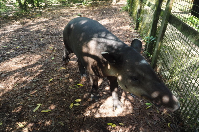 Belize - Friendly tapir, Belize Zoo, Belize