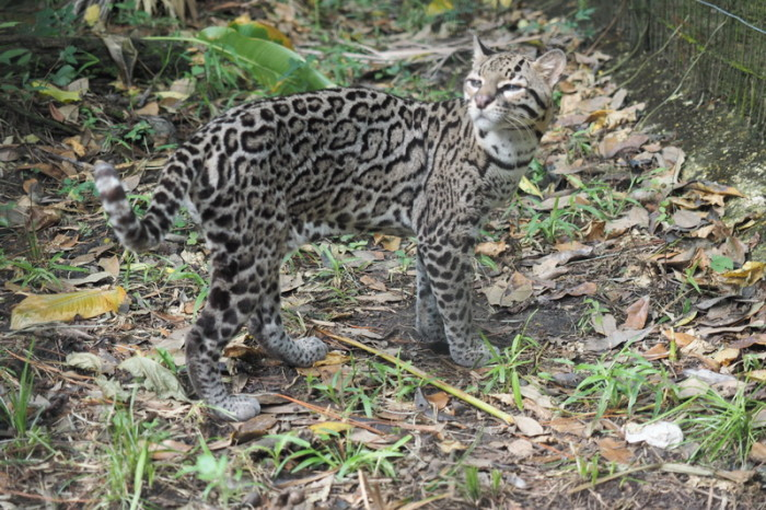 Belize - Ocelot, Belize Zoo