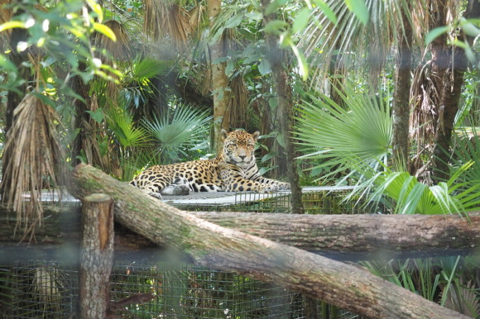 Belize - Jaguar, Belize Zoo