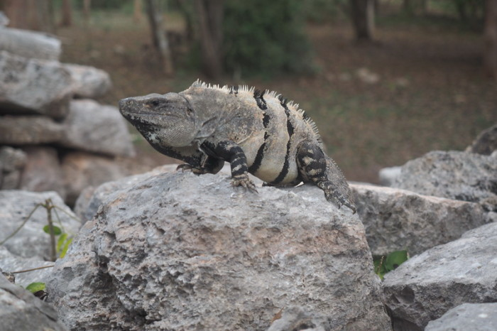 Mexican Road Trip - Sunbathing Iguana, Uxmal, Yucatan, Mexico