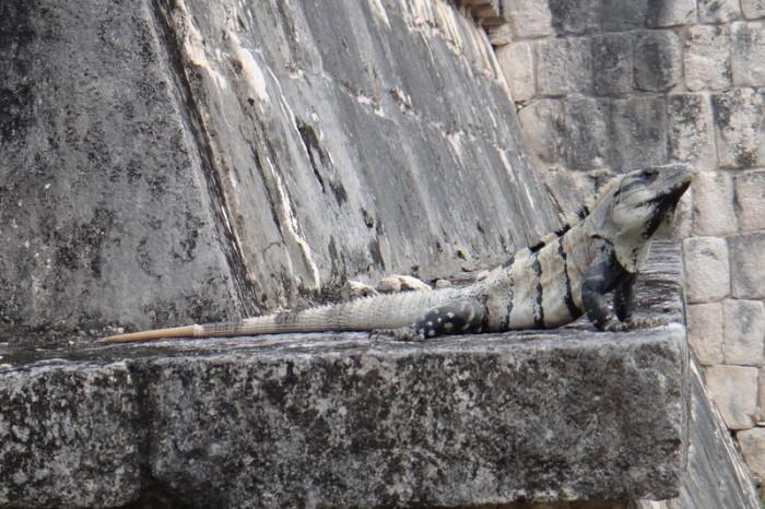 Mexican Road Trip - Sunbathing Iguana at Chichen Itza!