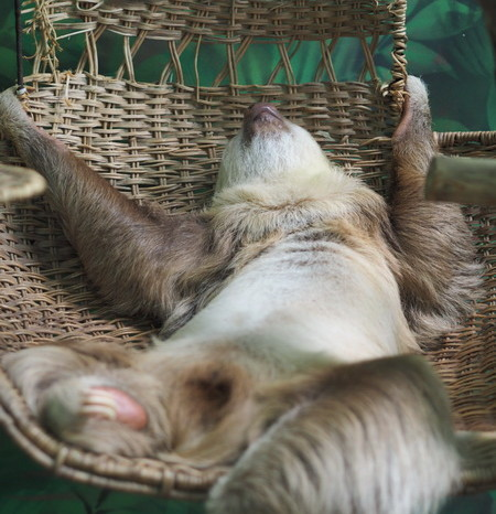 Costa Rica - Two-fingered Sloth, Sloth Sanctuary, Costa Rica