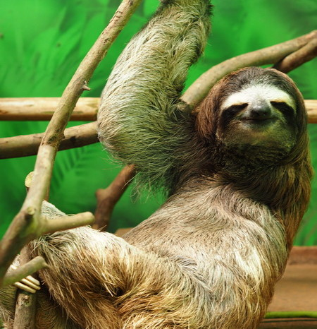 Costa Rica - Three-fingered sloth, Sloth Sanctuary, Costa Rica