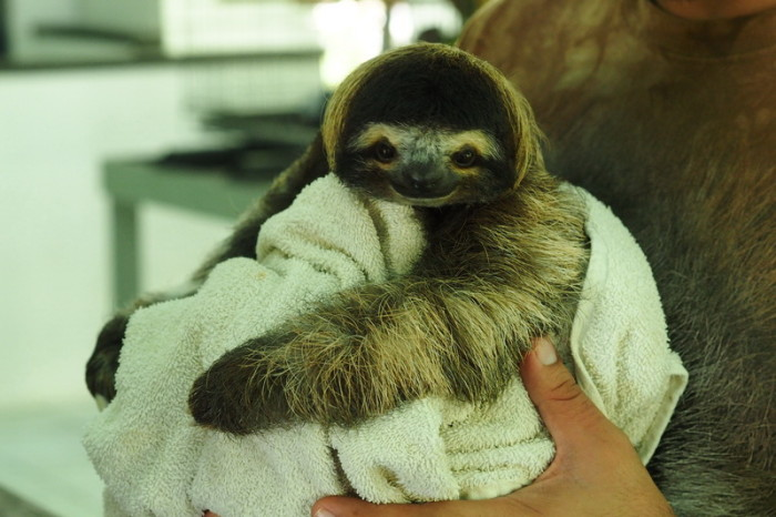 Costa Rica - Super cute baby Three-fingered Sloth! Sloth Sanctuary, Costa Rica