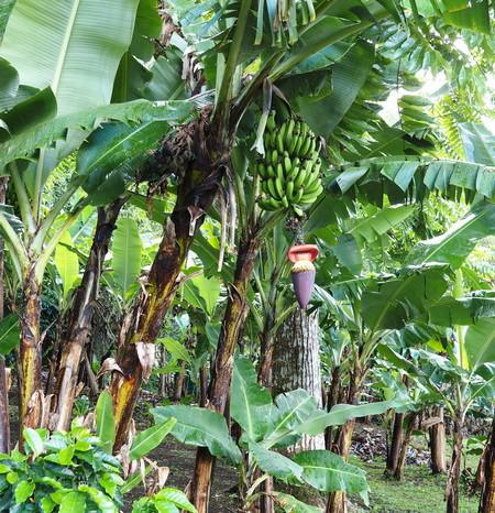 Costa Rica - Bananas, Curi-Cancha Reserve, near Monteverde, Costa Rica