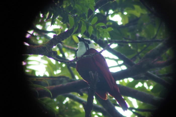 Costa Rica - Three-wattled Bell Bird, Curi-Cancha Reserve, near Monteverde, Costa Rica