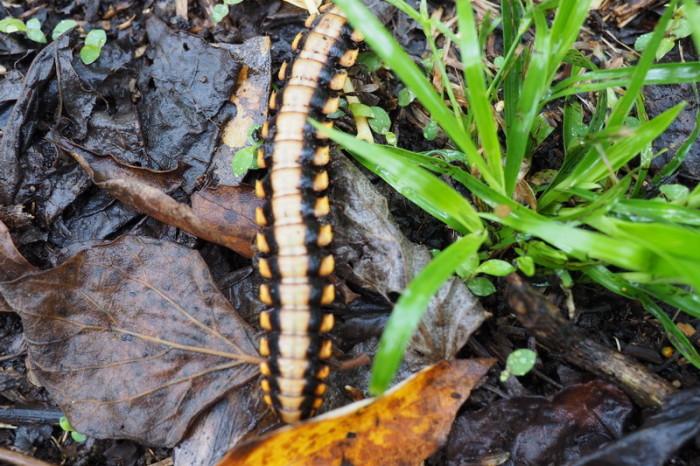 Costa Rica - Centipede, Curi-Cancha Reserve, near Monteverde, Costa Rica