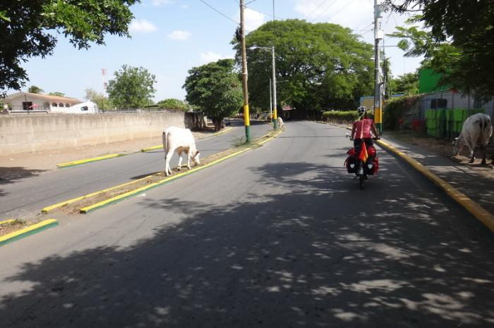 Nicaragua - Riding past cows on the way to Nagarote, Nicaragua