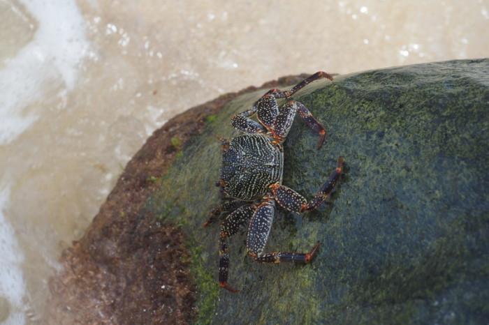 Nicaragua - Crab, Little Corn Island, Nicaragua