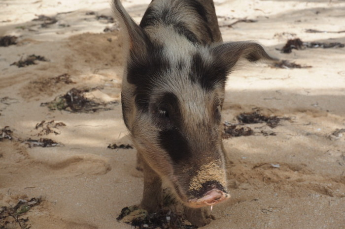 Nicaragua - Beach pig, Little Corn Island, Nicaragua