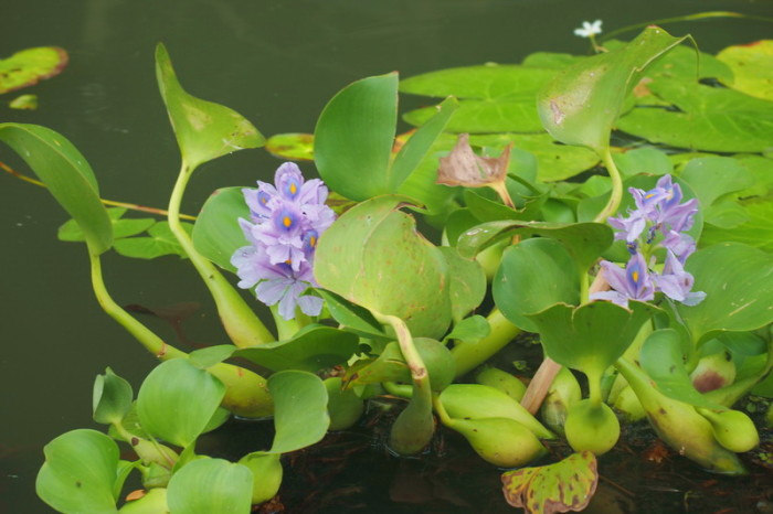 Nicaragua - Water lilies, Kayaking the Granada Islets, Granada, Nicaragua