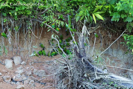 Amazon - Parrots at the salt lick, Cuyabeno Reserve, Amazon Rainforest