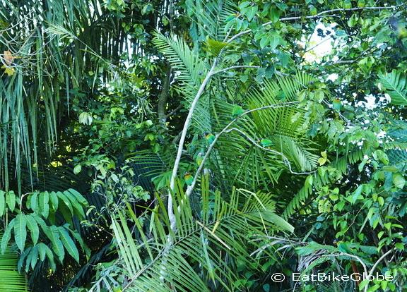 Amazon - Beautiful green parrots, Cuyabeno Reserve, Amazon Rainforest