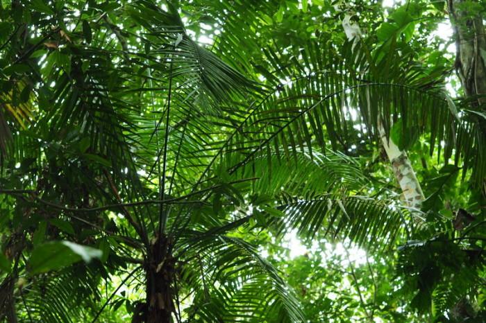 Amazon - Palm trees, Cuyabeno Reserve, Amazon Rainforest