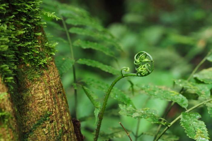 Amazon - Baby fern, Cuyabeno, Amazon Rainforest