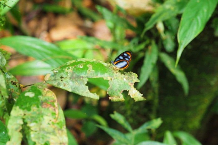 Amazon - Pretty butterfly, Cuyabeno Reserve, Amazon Rainforest