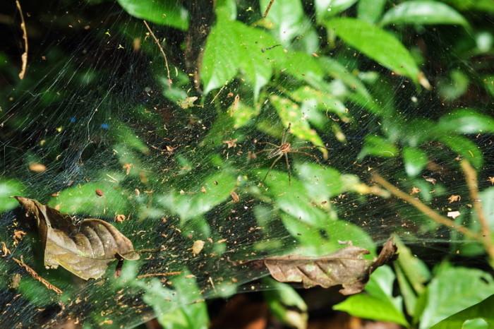 Amazon - Spider and web, Cuyabeno Reserve, Amazon Rainforest
